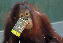 orangutan ouwehands JN6A6818 (j.a.kok) Tags: orangutan orangoetan orang mensaap primaat primate aap ape monkey ouwehands ouwehand ouwehandsdierenpark ouwehandszoo