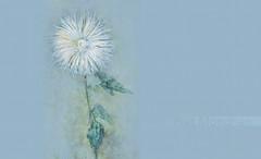 FloresPietMondrian_010 (Visualística) Tags: flores pietmondrian mondrian arte art interpretaciones abstracción paráfrasis versiones análisis flowers flower flor vegetal