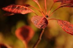Dewdrops (Suzanne Hamilton) Tags: autumn hampsteadheath pergola