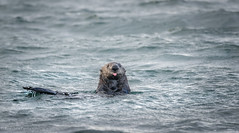 Election 2016 (rishaisomphotography) Tags: seaotter silly funny water sea ocean bay mammal furry nature naturephotographer kodiak alaska womansbay deepnorth northamerica wild wildlife wildlifephotography usws