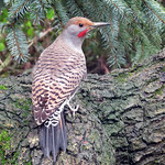 Northern Flicker_male thumbnail