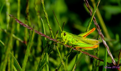 El pequeo Saltamontes.... (loriagaon) Tags: sonydscrx10iii sonyrx10lll galicia pontevedra espaa macro loriagaon loria animales animals saltamontes grasshopper naturaleza nature rx10lll