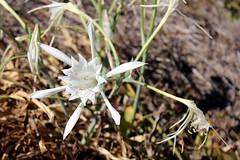 949 Hymenocallis speciosa (rustinejean) Tags: rustine flower fleur blanc white nature