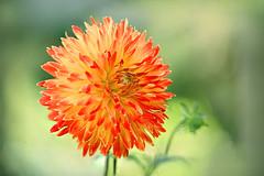 Dahlia (lfeng1014) Tags: dahlia flower macro macrophotography 100mmf28lmacroisusm canon5dmarkiii depthoffield dof closeup bokeh lifeng