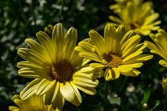 Mga Bulak (Jori Samonen) Tags: yellow flower plant talvipuutarha winter garden helsinki finland sony ilce3000 e 1855mm f3556 oss