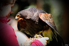 friends (Rolf Piepenbring) Tags: adler eagle oll