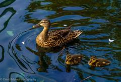 DSC_0104 (mylesfox) Tags: ducks lake