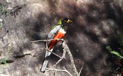 Elegant Trogon (Bird Aficionado Stan) Tags: arizona trogon huachucamountains eleganttrogon arizonabird huachucacanyon