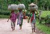 Tea Estate, Srimongal, Bangladesh (Travelling Rats) Tags: bangladesh srimongal 365project bestofbangladesh