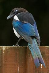 Magpie (warren hanratty) Tags: bird nature wildlife magpie picapica nailsworth wildbird warrenhanrattyphotography