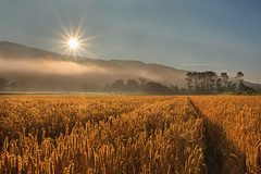 The warmth to swell the grain (Getty listed) (Alan10eden) Tags: morning summer mist mountain field fog sunrise canon landscape early warm bright farm wheat grain cereal harvest straw sigma bluesky crop sunburst farmer agriculture tramlines ulster fertile limavady winterwheat countylondonderry arable tillage 70d 1770mm roevalley goldengrain riverroe benevanagh alanhopps