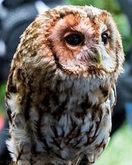 Tawny Owl (mistagain1 (Working away catch up soon)) Tags: world nikon wildlife secret owl tawnyowl d7200