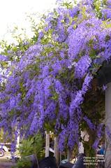 Petrea racemosa
