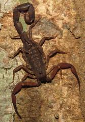 Tityus cf. sylvestris, unknown thick-tailed scorpion (Birdernaturalist) Tags: brazil fluorescence matogrosso buthidae scorpiones privatetour cristalinojunglelodge richhoyer miscinvert