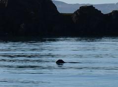 harp seal, Tay Bay, Bylot Island (Ward & Karen) Tags: arctic bylotisland