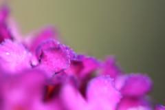 Sommerflieder (tommapson) Tags: garden lila garten sommerflieder chokeberry