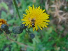 Schwebfliege , NGID2109452361 (naturgucker.de) Tags: episyrphusbalteatus naturguckerde cmichaelkunde liethewelver ngid2109452361