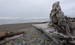 Gigantic drift logs on the beach (gourab66) Tags: travel beach nature washington nikon pacificocean olympicnationalpark driftlog kalalochbeach nikond810 nikon1635mmf4vr