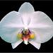 01 moth orchid_john walker.jpg
