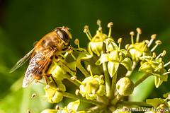 Zweefvlieg (Chantal van Breugel) Tags: macro herfst hedera flevoland nop insecten zweefvlieg canon100mm espel eigentuin canon50d