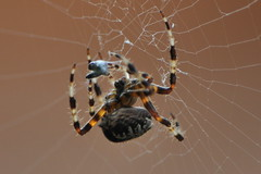 Orb weaver with dinner (HockeyholicAZ) Tags: spider spain web spin silk prey rana parlor orbweaver javea costablanca