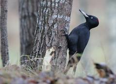 Black  Woodpecker (peter.v.b) Tags: martius blackwoodpecker dryocopusmartius dryocopus palokärki
