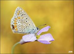 Un instante de paz (- JAM -) Tags: naturaleza flower macro nature insect nikon flor explore jam mariposas d800 insecto macrofotografia explored lepidopteros juanadradas