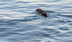 _DSC5446 (doug.metcalfe1) Tags: 2016 dougmetcalfe fall humberbayparkeast lakeontario mammal mink ontario outdoor toronto