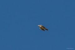 Mistle Thrush (katyarud) Tags: birds israel  hermon  passeriformes mistlethrush turdusviscivorus turdidae