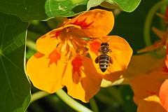 A honey bee flying to a garden nasturtium in the late evening sun. (Bienenwabe) Tags: flower macro nature insect natur bee tropaeolum insekt honeybee nasturtium biene apis flowermacro apiaceae kapuzinerkresse honigbiene tropaeolaceae tropaeolummajus apismellifera gardennasturtium