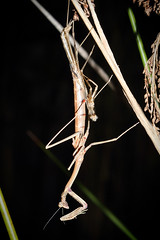Moulting Praying Mantis (Lacewing!) Tags: wild nature mantis backyard wildlife praying sydney australia nsw moult molt newly molting molted mantodea