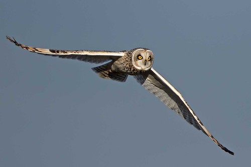 Short-eared Owl. (Explored)