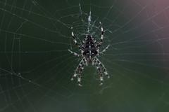 Spider in web (WillemijnB) Tags: green nature spider cross web arachnide