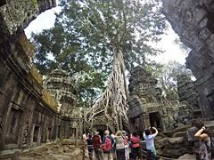 (Strangler Fig) (Sammy) Tags: life trip tree cambodia silk angkorwat cotton angkor taprohm   stranglerfig