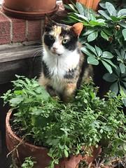 Flowerpot cat (Philosopher Queen) Tags: iris plant chat pot gato calico flowerpotcat kittyinapot