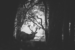 Nara - the messenger of Gods (Mathieu Noel) Tags: japan deer gods fallowdeer nara daims japon daim naraken narashi
