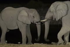Etosha - Namibia (wietsej) Tags: etosha namibia sony a7rii a7rm2 sal135f18z zeiss 135 night elephants