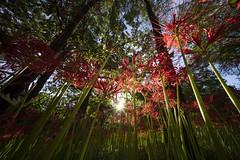 Early morning. (Say.xii) Tags: japan saitama flower sun morning clusteramaryllis