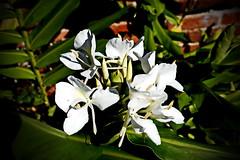Ginger lily (Jim Atkins Sr) Tags: sony a58 hedychiumcoronarium gingerlily lily garlandlily flower white tryonpalace sonya58 northcarolina nc newbern newbernnc