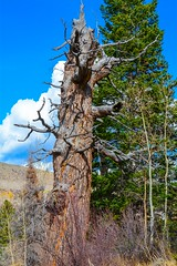 By-gone Tree (mharoldsewell) Tags: 2016 colorado d7100 nikon october mharoldsewell mikesewell photos tree trunck twisted twisty
