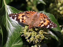 Painted Lady (chaz jackson) Tags: insect vanessacardui paintedlady vanessa nymphalidae butterfly macro nature