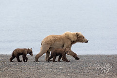 Sow with two Yearlings (* mateja *) Tags: northamerica usa alaska lakeclarknationalparkpreserve bear sow cub brownbear animal mammal fauna shore chinitnabay bearcamp wilderness viewing yearlings springers holiday canon eos5dmarkiii mateja