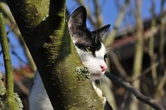 Hier wache ich (TitusT1960) Tags: lieblingskatze schwarzweis nikondigital nikond300 nikon katzeaufbaum baum kater katze cat tomcat pitu