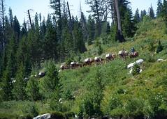 A Caravan in the Tetons (Karen McQuilkin) Tags: acaravaninthetetons mule horses packingin trailriding grandtetons karenmcquilkin