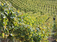 DSCN8130 (keepps) Tags: switzerland suisse schweiz fall autumn vaud aigle vineyard vine grapes