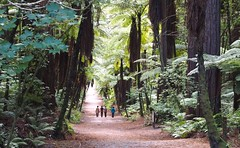 Walking in the Redwoods (boemlau) Tags: newzealand new zealand nieuwzeeland nieuw zeeland 2014 redwoods walking japanese people forest trees
