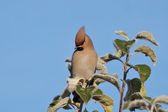 Shiny (tusenord) Tags: fotosondag frost sidensvans fs161106 huvudbonad bird winter bombycillagarrulus bohemianwaxwing fågel