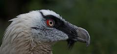 Bearded vulture - Bartgeier (pe_ha45) Tags: gypaetusbarbatus gypaètebarbu buitrebarbado quebrantahuesos lämmergeier bartgeier beardedvulture
