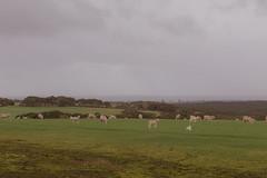 sheep (mezuni) Tags: antechamberbay southaustralia australia au kangarooisland authenticki visitsa ki