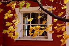 Leaves & Window (1) (deanspic) Tags: lostvillagesmuseum lostvillages wind windy gust gusty leaves maple mapletree motion fall falling autumn fall2016 g3x tree